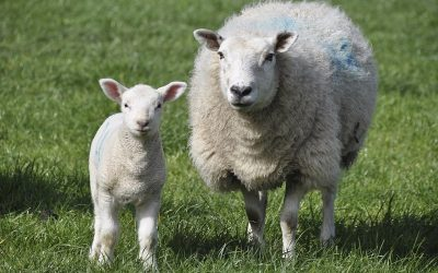 Wêreldwye lamsmarkte staan nog sterk