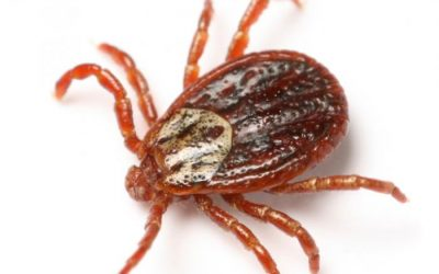 Tick Bites and Congo Fever