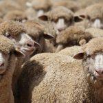 SA Sheep