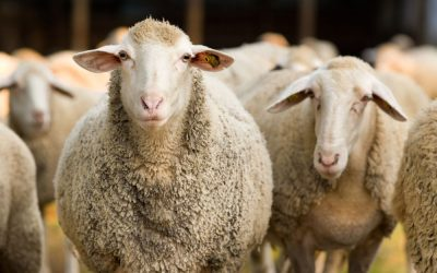 Court case to stop 80 000 sheep being exported: 7 questions for Humane Society International By James de Villiers - Shared via News24.com